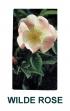 wilde-rose